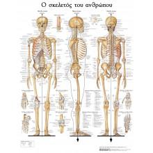 Σκελετός ανθρώπου